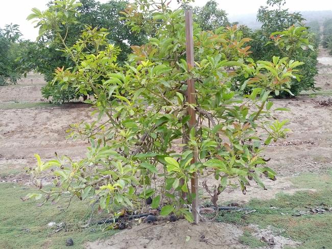 asphyxiated avocado2