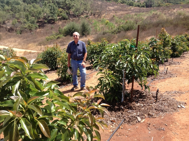 High Density Avocado Trial in San Diego County