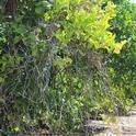 iron dieback citrus