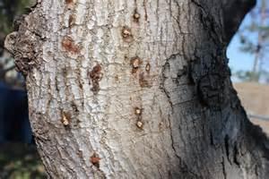 Polyphagous shothole borer