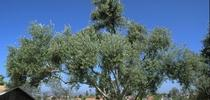 olive tree for Topics in Subtropics Blog