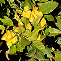 winter yellows