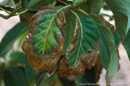 avocado leaf necrosis