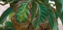 avocado leaf necrosis for Topics in Subtropics Blog