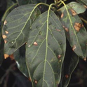 spotted leaf blight