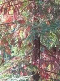blight redwood