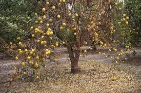 blight lemon