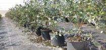 blueberries in pots 2 for Topics in Subtropics Blog