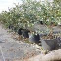 blueberries in pots 2