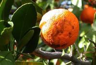 mandarin rind disorder