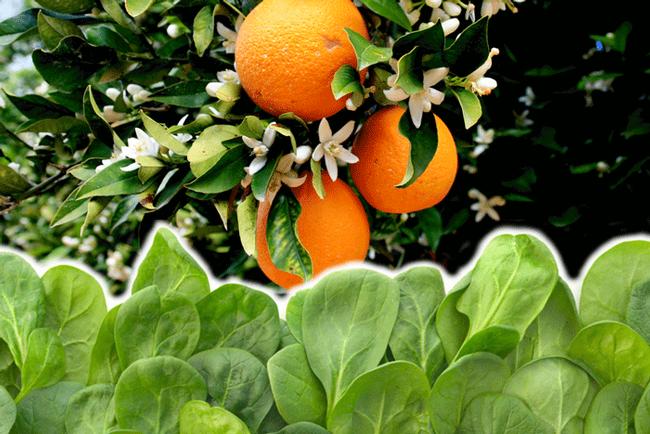 citrus-spinach