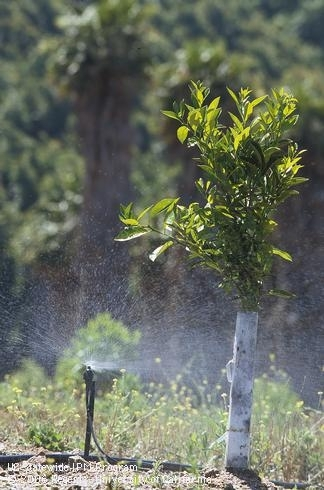 irrigATING CITRUS