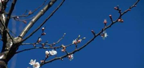 low chill apricot for Topics in Subtropics Blog
