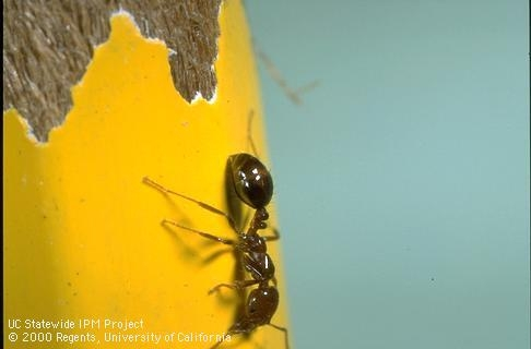Fig. 2. Southern Fire Ant