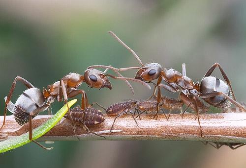 Fig. 3. Native Grey Ant, Photo: Alex Wild
