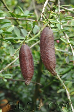 Australian finger lime fruit