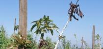asphyxiation avocado for Topics in Subtropics Blog