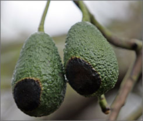 fire damaged avocado fruit
