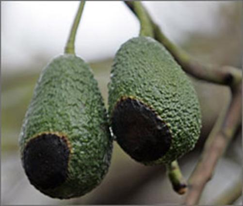 fire damaged avocado fruit