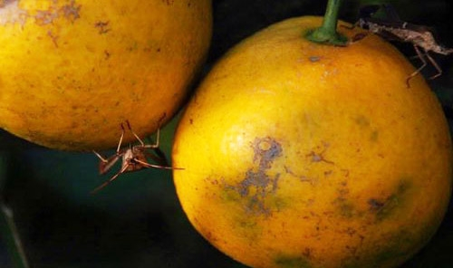 leaffooted bug damage on citrus