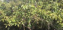 avocado tree for Topics in Subtropics Blog