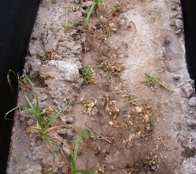organic herbicide dead