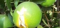 navel orange split for Topics in Subtropics Blog