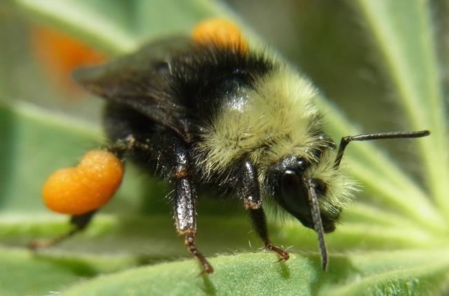 bombus bee