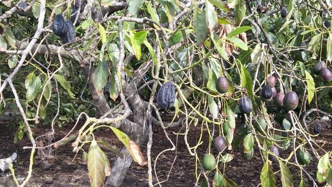 avocado shrivelled canopy