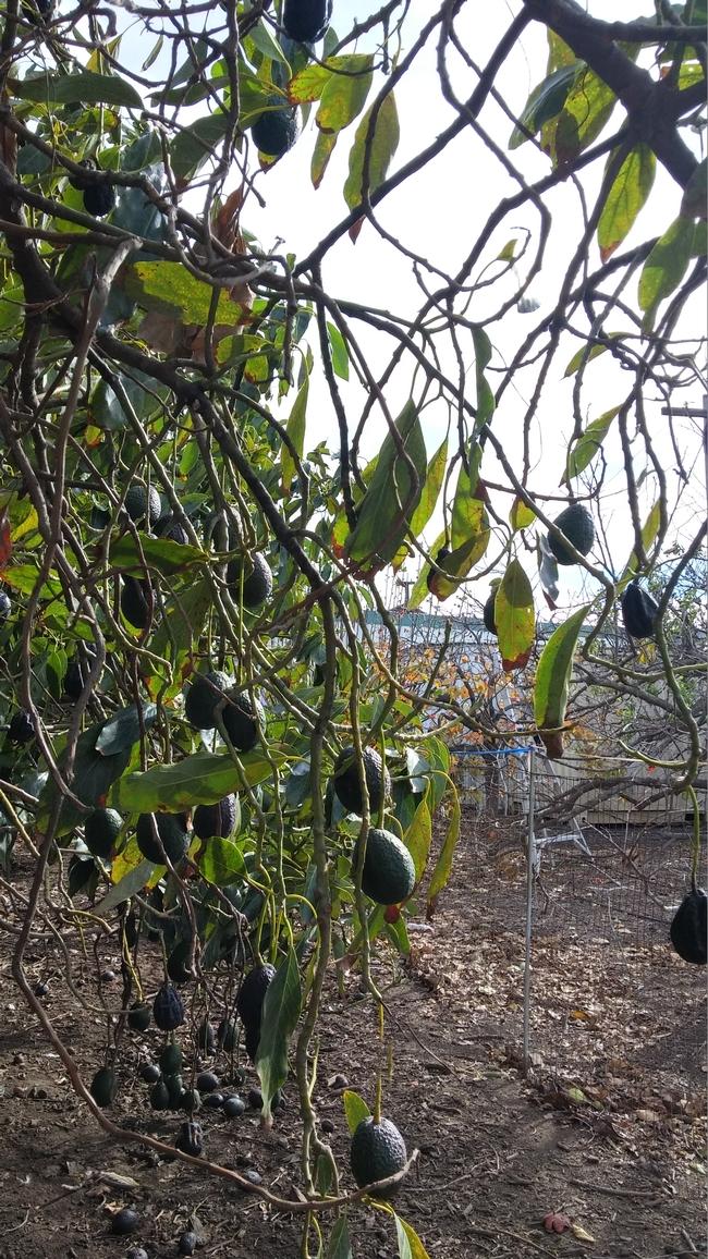 avocado srought stress tree