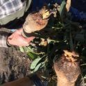 avocado root rot 4
