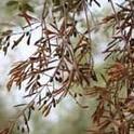 xylella f on olives