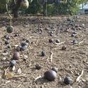 fruit drop drought
