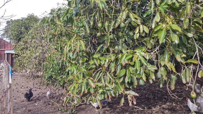 avocado drought canopy