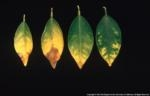 boron toxicity citrus 1