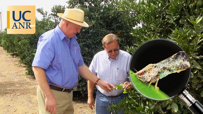 UCCE farm advisor Kevin Day and Tulare County farmer George McEwen looking at new growth on citrus trees.