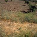 cover crop citrus