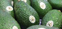 Copyright © 2016 California Avocado Commission for Topics in Subtropics Blog