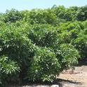 avocado center pruned