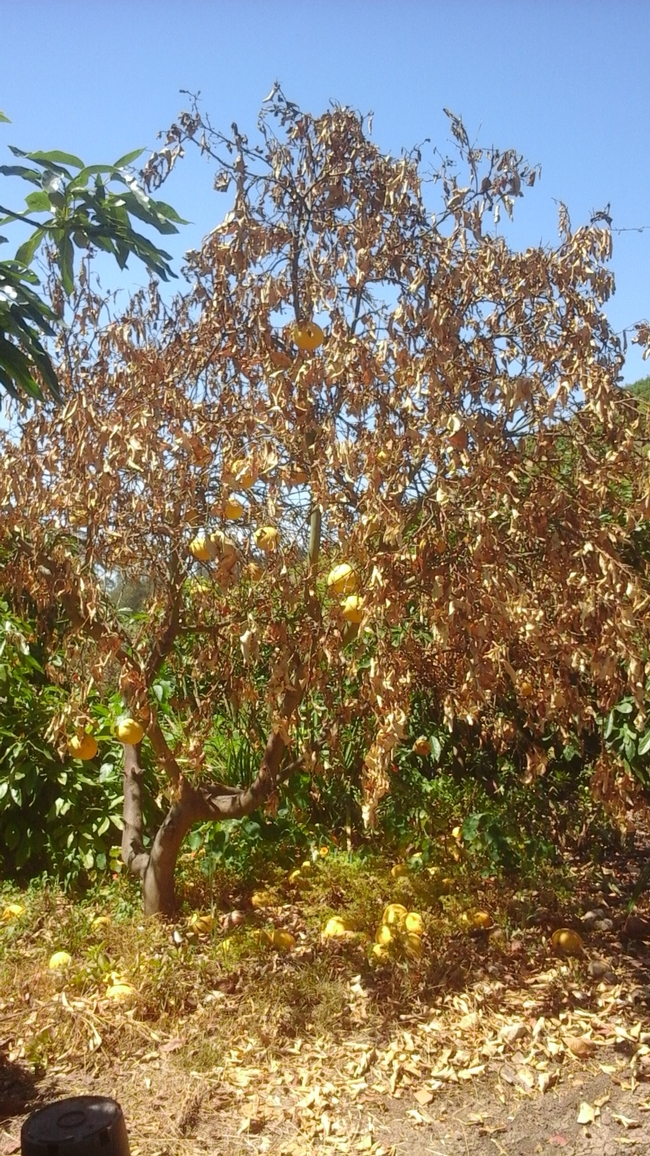 dry root rot grapefruit canopy