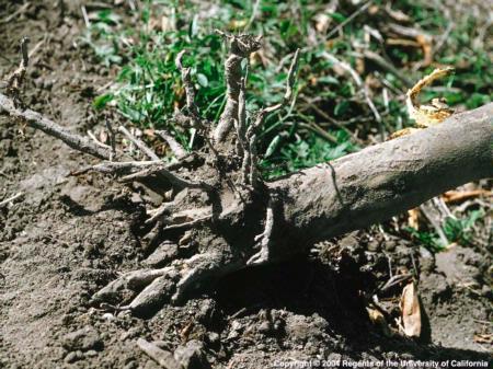 diaprepes root