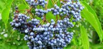 elderberries-2 for Topics in Subtropics Blog
