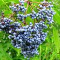 elderberries-2