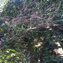 branch dieback on clementine