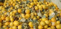 lemon waste for Topics in Subtropics Blog