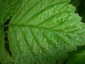 Leaf damage in non-target plant