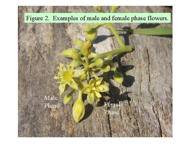 avocado flowers