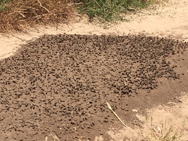 digger bees 2
