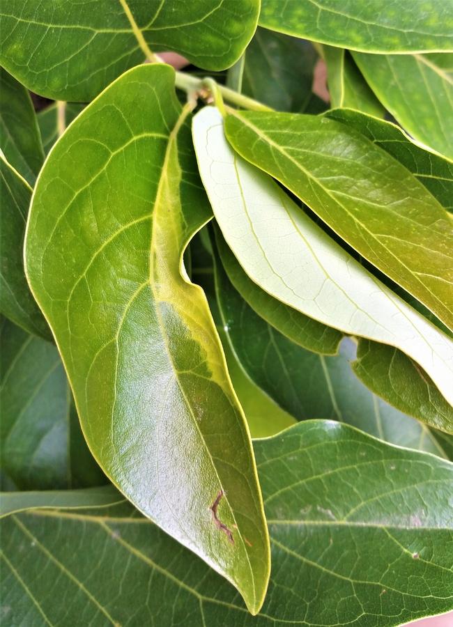 Sun Blotch leaf