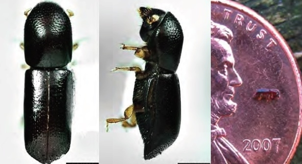 Redbay-Ambrosia-Beetle-Laurel-Wilt-disease